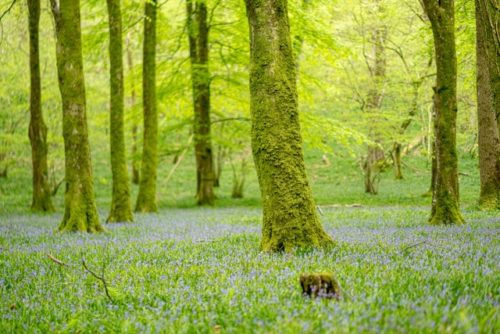 Bluebells on Exmoor